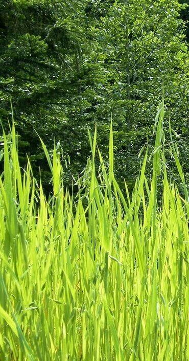 Magas fű, gaz; a fűnyírás, gazvágás, parlagfű irtás indokolt!